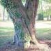 01) arbre de Judée du Miroir - octobre 2014