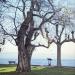 06) arbre de Judée du Miroir - décembre 2016