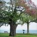 07) arbre de Judée du Miroir - mai 2018