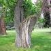 09) arbre de Judée du Miroir - mai 2018