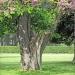 10) arbre de Judée du Miroir - mai 2018