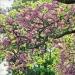 11) arbre de Judée du Miroir - mai 2018
