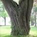14) arbre de Judée du Miroir - mai 2018