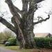Chêne de Saint-Martin-Bellevue