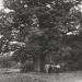 cp 3- Chêne de Saint-Martin-Bellevue