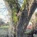 04) Erables champêtres du Sauget