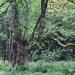 06) Frêne de Talavé