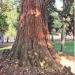 06) Séquoia géant