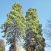 06) Séquoias géants