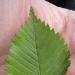 feuilles) Orme du Guidou