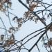 fleurs) Orme du Guidou