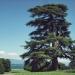 Cèdre du Liban du parc la Grange