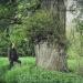 Chêne à Jussy