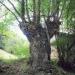 Orme de montagne de Saint-Gingolph