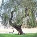 Saule pleureur du jardin de l'Europe, Annecy