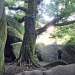 Finistère - Chêne du Chaos d'Huelgoat