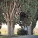Vaucluse - Cyprès d'Italie de Caromb