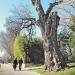 Vaucluse - Peuplier blanc d'Avignon