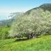 Alisier blanc de la Thuile, Beaumont