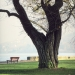 arbre de Judée d'Amphion, Publier