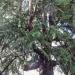 Cèdre de l'Himalaya, Évian