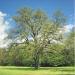 Chêne de Tougues à Chens-sur-Léman