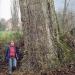 Chêne à Collonges-sous-Salève