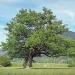 Chêne de la Pallud, Domancy