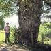 Chêne de Chaumont