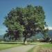 Chêne de Brenthonne