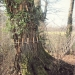 Chêne du Guidou, Sciez