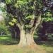 Chêne rouge d'Amérique de st Disdille, Thonon