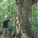 Érable à feuilles d'Obier - Collonges-sous-Salève