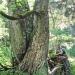 Érable sycomore de Nifflon, Bellevaux