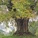 Érable sycomore du col de l'Encrenaz, la Côte-d'Arbroz