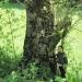 Frêne de Pagnoud, Saint-jeoire