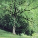 Frêne des Bossons, Bellevaux
