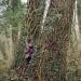 Peupliers noirs du bois de Vernaz, Gaillard
