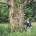 Pin sylvestre de la Grande Corne, Sciez