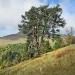 Pin sylvestre du mont Chery, les Gets