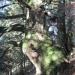 Sapin blanc de Chavanne, Archamps