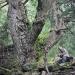 Sapin blanc - La Chapelle d'Abondance