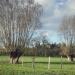 Saules blancs têtards de la Marlot, st-Cergues