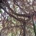 Séquoias géants de la Préfecture, Annecy