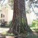 Séquoia géant de Crête, Thonon
