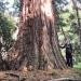 Séquoia géant de Chosal, Archamps