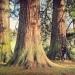 Sequoias géants de Thénières, Ballaison