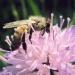 abeille sur Knautie