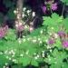 Geranium macrorrhizum et saxifrage