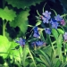 grémil pourpre bleu